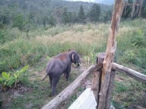 ชาวเลยวังไสย์เดือดร้อนหนัก ช้างป่าภูหลวงกว่า 40 ตัวอาละวาดทำลายพืชไร่
