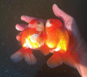 BPF ปลาทองออนไลน์ จัดส่งทั่วไทย แถมไปไกลถึงเมืองนอก