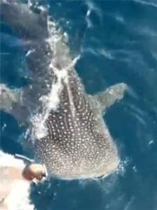 """ดำผุดดำว่าย! """"ฉลามวาฬ"""" โผล่ว่ายนํ้าใกล้นักท่องเที่ยว ชาวเน็ตห่วงใกล้ชิดเกิน-จี้ จนท.ดูแล (คลิป)"""