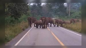 หน.อุทยานฯแก่งกระจาน แจ้งเตือนภัยผู้สัญจรไป-มา ระวังโขลงช้างป่าข้าม ถ.ป่าละอู