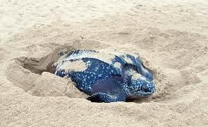 ไร้จิตสำนึก! หลังมีคนแอบเข้าไปขุดทราย คาดขโมยไข่เต่ามะเฟือง ก่อนอ้าง มาหาปูลม