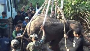 ล้มแล้วลูกช้างป่าหลังได้รับบาดเจ็บจากเหตุช้างป่าตัวผู้ต่อสู้แย่งชิงตัวเมีย