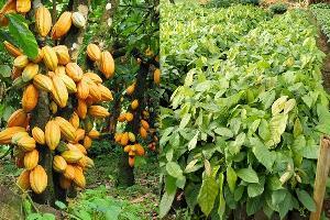 ปลูกโกโก้ในไทย ทดแทนการปลูกยางพารา  ได้จริงหรือ