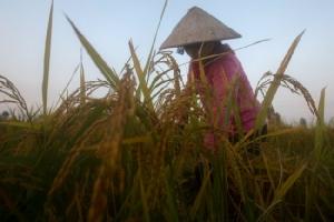 ฮานอยเปิดตัวโลโก้ข้าวเมดอินเวียดนาม ประทับตราของแท้ผลิตในบ้าน