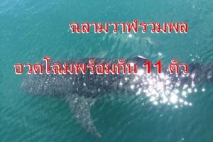 สุดตื่นเต้น ฉลามวาฬบุกเกาะยาวน้อย จ.พังงา ว่ายน้ำอวดโฉมพร้อมกัน 11 ตัว