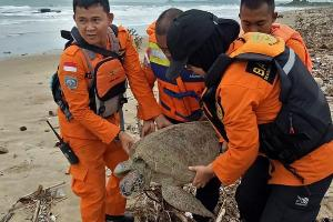 กู้ภัยเร่งกู้ชีวิตเต่าเหยื่อสึนามิอินโดนีเซีย