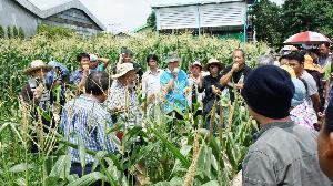 ข้าวโพดสีแดง ราชินีทับทิมสยาม  สายพันธุ์แรกของโลกที่กินสดได้ ฝีมือนักวิจัยไทย