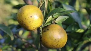 สวนส้มตาอึ่ง ที่อ.ท่าลี่ จ.เลย จัดโปรโมชันเข้าชมสวนกินส้มในไร่แบบบุฟเฟ่ต์ ในราคาแค่คนละ 100 บาท