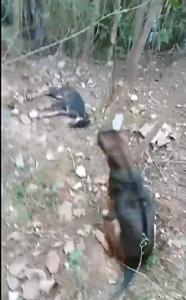เศร้าใจ! สุนัขแสนรู้วิ่งไปตามคนเลี้ยงให้มาดูว่าลูกตัวเองตายแล้ว ชาวเฟซแห่แสดงความเสียใจ