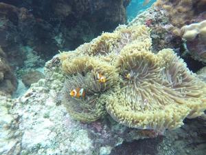 """หนุ่มบริษัทนำเที่ยวทะเลตรังดำน้ำสำรวจ """"เกาะแหวน"""" พบแหล่งปะการังสุดสวย"""