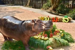 สวนสัตว์เปิดเขาเขียวจัดอาหารโปรดกองยักษ์รับขวัญ-ฉลองบ้านใหม่แม่มะลิ ฮิปโปขวัญใจคนไทย