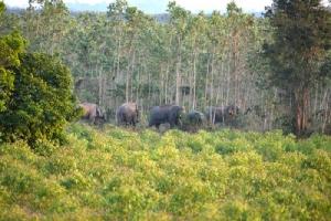 ช้างป่าผืนป่า ตอ. ลงมาหากินพืชผลไม้ในไร่สวนของชาวบ้าน เกิดเป็นปัญหาความขัดแย้งของคนกับช้างป่ามาช้านาน