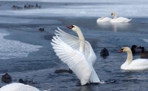 หงส์ขาวและเป็ดหัวเขียว (mallard duck ) อยู่กลางทะเลสาบท่ามกลางอุณหภูมิลดต่ำลงเหลือ -15 องศาเซลเซียส นอกกรุงมินสค์(Minsk) เบลาลุส วันศุกร์(11 ม.ค) ภาพรอยเตอร์