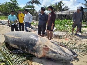 """ผงะ! พบซาก """"วาฬโอมูระ"""" หายากหนักเกือบ 1 พัน กก. ถูกคลื่นซัดเกยหาดที่ระโนด"""