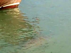 ฮือฮา! นักท่องเที่ยวพบพะยูนคู่ว่ายน้ำอย่างใกล้ชิดที่เกาะลิบง