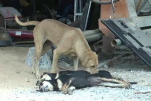 จิตใจทำด้วยอะไร! ประณามคนบาปวางยาเบื่อสุนัขตายกว่า 10 ตัว สลดเจ้าตูบเฝ้าซากลูกไม่ห่าง