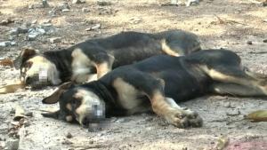 ปศุสัตว์บุรีรัมย์เร่งตรวจสอบสุนัขตายปริศนาอื้อกว่า 10 ตัว ชี้อาจถูกวางยาหรือติดเชื้อไวรัส