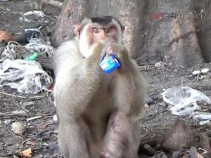 ชาวบ้านวอนช่วยลิงถูกล่ามทิ้งไว้หลังหมู่บ้านไทยสมุทร ในเขตเทศบาลนครตรัง