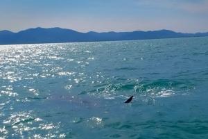 สุดตื่นเต้นฉลามวาฬโผล่ว่ายน้ำอวดโฉมที่เกาะยาวน้อย จ.พังงา (ชมคลิป)