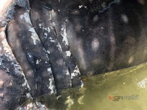 """พบซาก """"ยักษ์ใหญ่ใจดีแห่งท้องทะเล"""" หนัก 2 ตัน ยาว 8 เมตร ที่สตูล"""