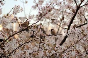 ซากุระเบ่งบานในฤดูใบไม้ผลิสร้างความงามสดใสไปทั่วญี่ปุ่น