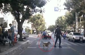 """เอ็นดู! รปภ.ใจดี โบกรถพา""""เจ้าเป๋"""" สุนัขพิการข้ามทางม้าลายสุดน่ารัก (ชมคลิป)"""