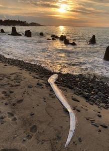 พบปลาพญานาคโผล่น่านน้ำบ่อยครั้ง ชาวญี่ปุ่นผวาเป็นลางบอกเหตุเกิดแผ่นดินไหวใหญ่