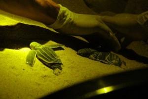 ดีใจจนน้ำตาไหล หลังลูกเต่ามะเฟือง รังแรก ที่พังงาฟักออกจากไข่ เกินกว่า 60 %