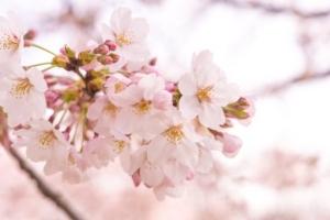 ซากุระในญี่ปุ่นปีนี้บานเร็วขึ้น เริ่มบานกลางเดือนมีนาคม