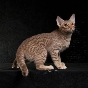 สาวกแมวห้ามพลาด รวมตัวแมวพันธุ์ดีจากทั่วโลก