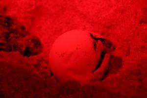 ช่วยสำเร็จลูกเต่ามะเฟืองรังที่ 3 ฟักออกจากไข่ปล่อยกลับทะเล 40 ตัว