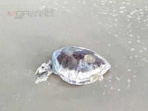 มีต่อเนื่อง! พบซากแมงกะพรุน ปลา เต่าทะเลตายเกยหาด ก้อนน้ำมันยังเกลื่อนไร้การเหลียวแล