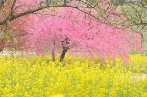 ฤดูใบไม้ผลิญี่ปุ่นสีอะไร