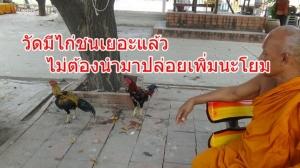 พระบ่นพอแล้วไก่ชนเต็มวัด หลังจากไก่ชนแพ้พวกเซียนก็นำมาปล่อยวัด