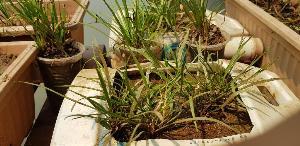 ดอกหวีด หรือ  Cryptocoryne loeiensis  พบได้เฉพาะริมตลิ่งเชียงคาน