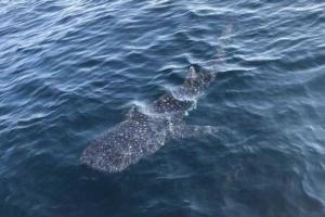 นักท่องเที่ยวเฮ ! เช่าเรือล่องทะเลอันดามัน โชคดีพบฉลามวาฬว่ายน้ำเข้ามาอวดโฉม