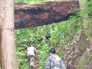 """""""ท้ายเภายักษ์"""" แห่งเทือกเขาบรรทัด ต้นไม้ที่ควรค่าแก่การอนุรักษ์ (มีคลิป)"""