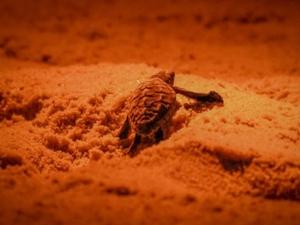 เฮ! ลูกเต่าหญ้าลืมตาดูโลกอีก 68 ตัว ที่ท้ายเหมือง จ.พังงา