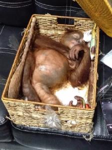 ตม.บาหลีรวบหนุ่มรัสเซียจับ 'ลิงอุรังอุตัง' มอมยา-ยัดกระเป๋า เตรียมขนกลับไปเลี้ยงที่บ้าน