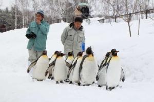 หน้าหนาวเพนกวินจะมาเดินขบวนให้ชมที่สวนสัตว์อาซาฮิยามะ