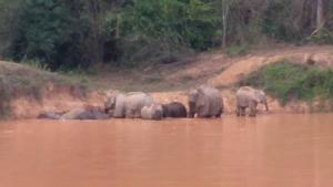 ภาพช้างป่าเล่นน้ำคลายร้อนในอุทยานแห่งชาติแก่งกระจาน เจ้าหน้าที่ดูแลความปลอดภัยเข้ม