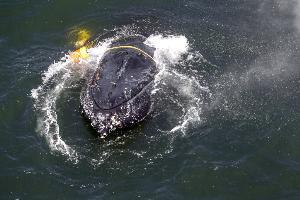 บูรณาการวิจัยระหว่างชีววิทยากับฟิสิกส์: การศึกษาวาฬโดยใช้เครื่องตรวจรับอนุภาคนิวตริโน