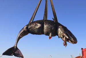 ซากวาฬที่บริโภคพลาสติกและชิ้นส่วนอิเล็กทรอนิกส์เข้าไปบริมาณ พบที่ชายฝั่งของเกาะ Sardinia island ในอิตาลี  (SEAME Sardinia Onlus via AP)