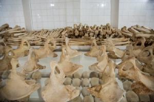 <i>ภาพถ่ายเมื่อ 22 มี.ค. 2019 แสดงให้เห็นกระดูกของเหยื่อผู้เสียชีวิตในเหตุการณ์พันธุฆาตปี 1994 ซึ่งจัดแสดงที่อนุสรณ์สถานในกรุงคิกาลี </i>