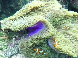 """ชวนชม """"ปะการังอ่อนเจ็ดสี"""" ความงามใต้ทะเล ณ เกาะเหลาเหลียง"""