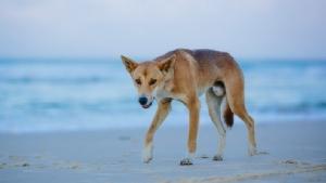 ระทึก! พ่อออสซี่ช่วยชีวิตลูกชายวัย 14 เดือนหวิดถูก 'หมาป่าดิงโก้' ลากไปกินอีกราย