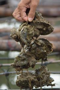 หอยนางรม ของชุมชนเกาะเคี่ยมใต้