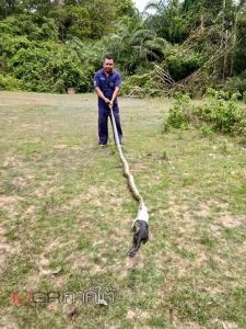 กู้ภัยตันหยงโปเข้าจับงูเหลือมปล่อยป่า หลังแอบเขมือบลูกแพะชาวบ้าน