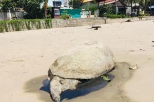 เรื่องมันเศร้า ! ซากเต่าขนาดใหญ่ถูกคลื่นซัดเกยตื้นหาดกมลา ตัวที่ 2 ของช่วงมรสุม