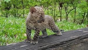 สถานีเพาะเลี้ยงสัตว์ป่าห้วยขาแข้ง เปิดโอกาสให้ ปชช.ช่วยอุปถัมภ์ดูแลลูกเสือดาว-สัตว์ป่าอื่นๆ
